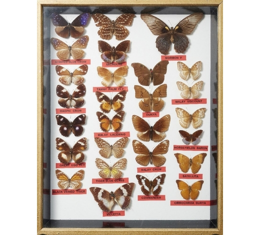 RoseberysA collection of ten framed and mounted butterfly specimens
